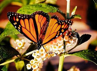 Butterfly Festival Butterflies